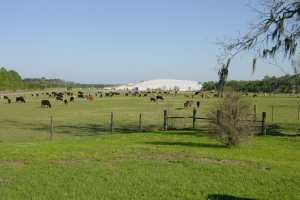 Cattle-grazing-at-NRRL